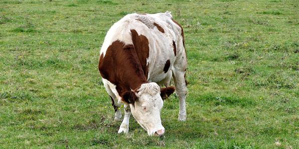 Article du Canard enchaîné du 25 octobre sur la tuberculose bovine : un problème financier mais aucun risque sanitaire