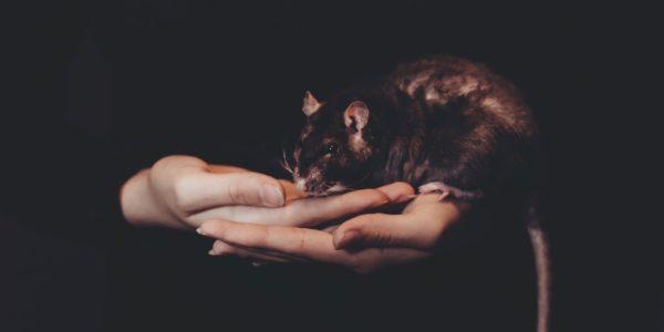 rats et zoonoses