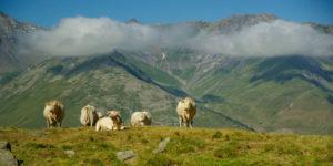 Des cas de fièvre charbonneuse dans les Hautes-Alpes