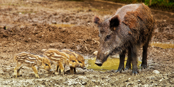 Alerte à la peste porcine africaine