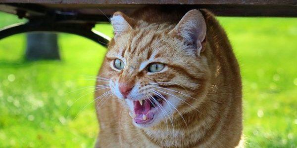 chat et rage